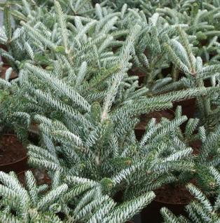 Koreatanne Silver Star 30-40cm - Abies koreana