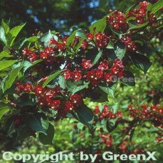 Weigelie Red Prince 80-100cm - Weigela - Vorschau