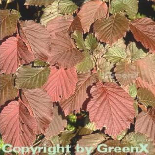 Purpur Hasel 125-150cm - Corylus maxima - Vorschau