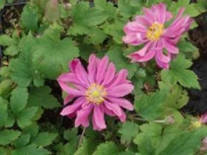 Herbstanemone Monte Rose - Anemone japonica - Vorschau