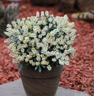 Schattenglöckchen Lavendelheide Debutante 30-40cm - Pieris japonica - Vorschau