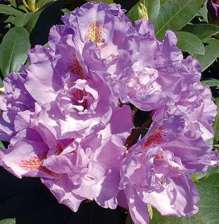 Großblumige Rhododendron Fastuosum Flore Pleno 25-30cm - Alpenrose - Vorschau