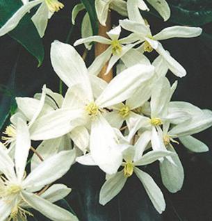 Immergrüne Duft Waldrebe 60-80cm - Clematis armandii - Vorschau