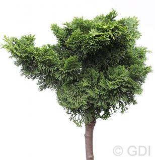 Hochstamm Muschelzypresse Nana Gracilis 40-60cm - Chamaecyparis obtusa - Vorschau