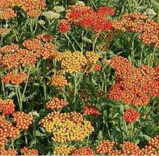 Schafgarbe Feuerland - Achillea millefolium - Vorschau