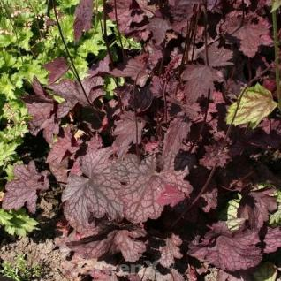 Purpurglöckchen Velvet Night - Heuchera americana