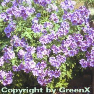Pracht Storchschnabel - Geranium magnificum - Vorschau