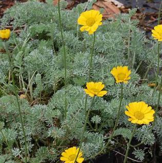Hundskamille gelb - Anthemis marschalliana - Vorschau