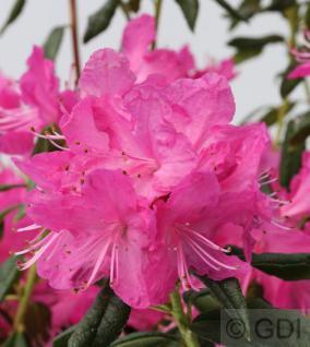 Rhododendron Boskoop Ostara 30-40cm - Rhododendron mucronatum - Vorschau