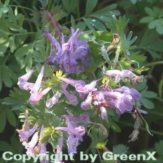 Gefingerter Lerchensporn - Corydalis solida - Vorschau