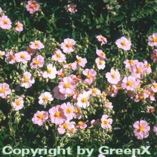 Sonnenröschen Lawrensons Pink - Helianthemum - Vorschau