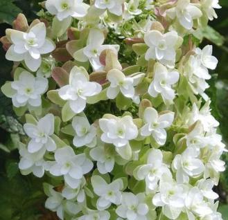Eichenblättrige Hortensie Harmony 30-40cm - Hydrangea quercifolia - Vorschau