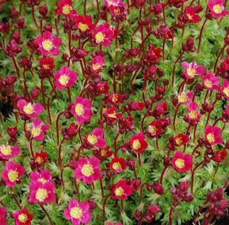 Moossteinbrech Pixi Rose - großer Topf - Saxifraga arendsii - Vorschau