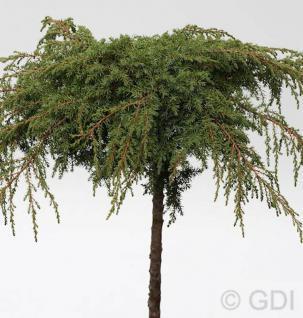 Hochstamm Grüner Kriechwacholder Green Carpet 40-60cm - Juniperus communis - Vorschau