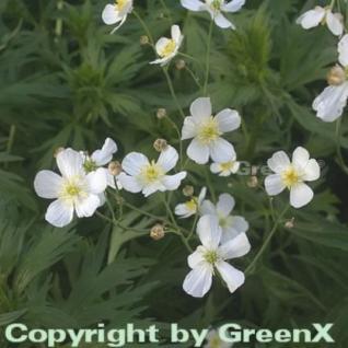 Weißer Hahnenfuß - Ranunculus aconitifolius - Vorschau