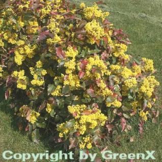 Zwerg Mahonie Apollo 25-30cm - Mahonia aquifolium - Vorschau