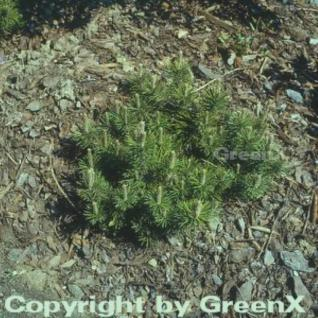 Zwerg Kiefer Mini Mops 30-40cm - Pinus mugo - Vorschau