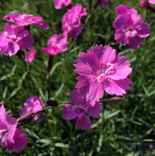 Pfingstnelke Eydangeri - Dianthus gratianopolitanus - Vorschau