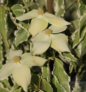 Chinesischer Blumenhartriegel Samaritan 100-125cm - Cornus kousa - Vorschau