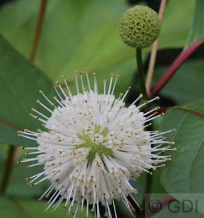 Kopfblume Knopfbusch 80-100cm - Cephalanthus occidentalis - Vorschau