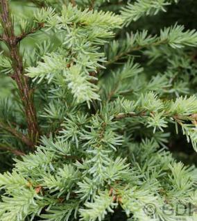 Graue Hemlocktanne 60-80cm - Tsuga mertensiana - Vorschau