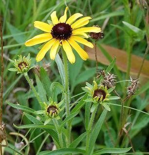 Missouri Sonnenhut - Rudbeckia missouriensis - Vorschau