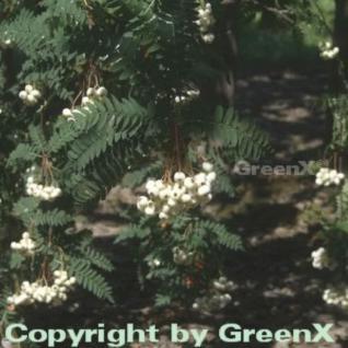 Weiße Zwerg Eberesche 125-150cm - Sorbus koehneana - Vorschau