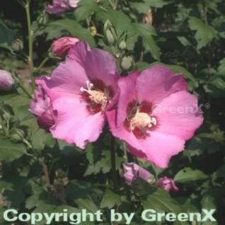 Rosen Eibisch Woodbridge 60-80cm - Hibiscus - Vorschau
