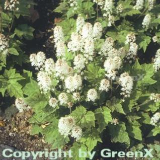 Herzblättrige Schaumblüte - Tiarella cordifolia - Vorschau