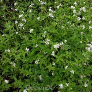 Turiner Waldmeister - Asperula taurina - Vorschau