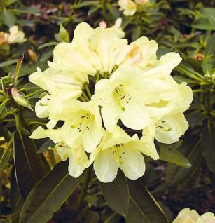 Großblumige Rhododendron Westerstede 40-50cm - Alpenrose - Vorschau