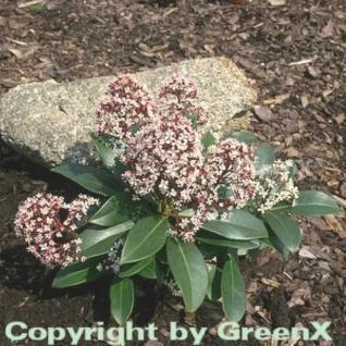 Japanische Skimmie Rubella 70-80cm - Skimmia japonica - Vorschau