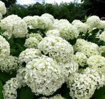 Bauernhortensie First White 40-60cm - Hydrangea macrophylla - Vorschau
