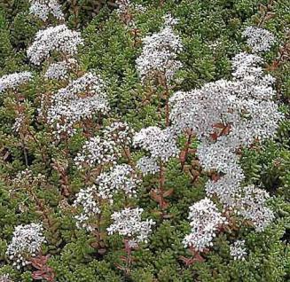 Niedriger Weißer Mauerpfeffer Coral Carpet - Sedum album - Vorschau