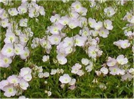 Weißer Scheinmohn - Meconopsis betonicifolia alba - Vorschau