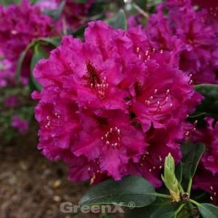 Großblumige Rhododendron Myrte 30-40cm - Alpenrose - Vorschau