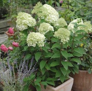 Rispenhortensie Little Lime® 25-30cm - Hydrangea paniculata - Vorschau