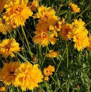 Mädchenauge Sunray - Coreopsis grandiflora - Vorschau