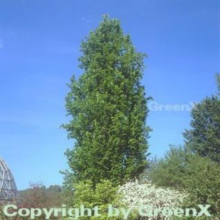 Säulen Rotbuche Dawyck 80-100cm - Fagus sylvatica - Vorschau