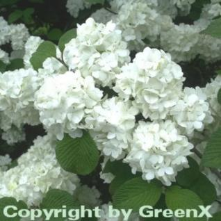 Japanischer Schneeball Rotundifolium 30-40cm - Viburnum plicatum - Vorschau
