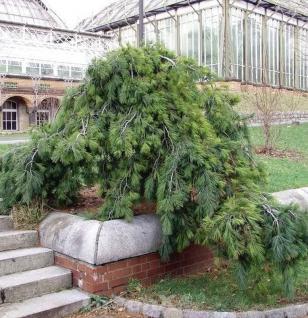 Hänge Weymouths Kiefer 60-80cm - Pinus strobus - Vorschau