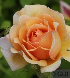 Englische Rose Grace® 30-60cm - Vorschau