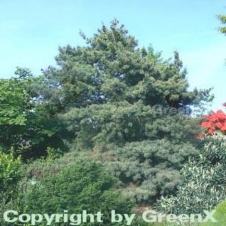 Japanische Zwergmädchenkiefer 50-60cm - Pinus parviflora - Vorschau