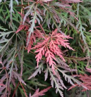 Schlitzahorn Orangeola 60-80cm - Acer palmatum - Vorschau