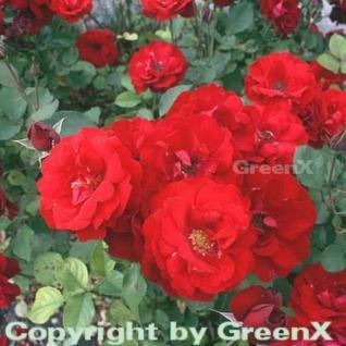 Hochstamm Rose Lilli Marleen® 80-100cm - Vorschau