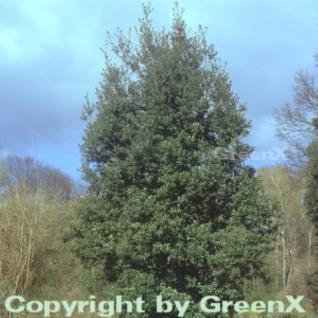Immergrüne Stein Eiche 60-80cm - Quercus ilex - Vorschau
