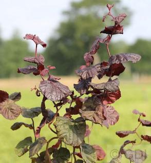 Rotblättrige Korkenzieher Hasel 80-100cm - Corylus avellana - Vorschau