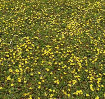 Frühlingsfingerkraut Nana - Potentilla neumanniana - Vorschau