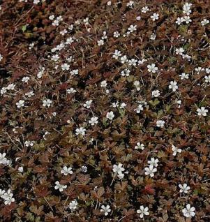 Storchenschnabel Sanne - Geranium cultorum - Vorschau