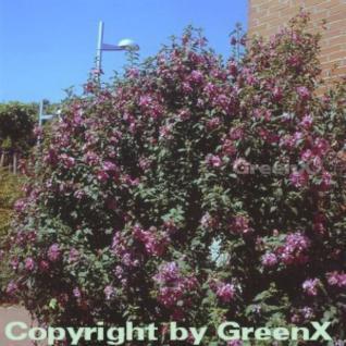 Hochstamm Rosen Eibisch Ardens 80-100cm - Hibiscus syriacus - Vorschau
